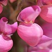 Lupine Named Gallery Pink Art Print
