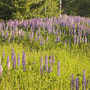 Maine Wild Lupine Flowers Art Print