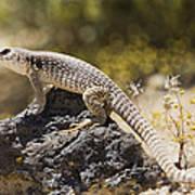 Mojave Desert Iguana Art Print