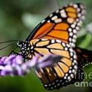 Monarch Danaus Plexippus Art Print