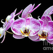 Moon's Orchid  Art Print