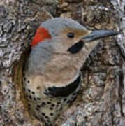 Northern Flicker In Nest Cavity Alaska Art Print