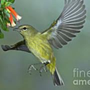 Orange-crowned Warbler Art Print