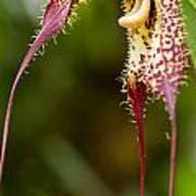 Orchid From Finca Dracula Art Print