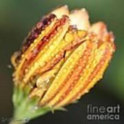 Osteospermum Named Sunadora Palermo Art Print