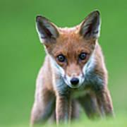 Red Fox Cub Portrait Art Print