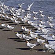 Royal Terns On The Beach At Indialantic In Florida Art Print