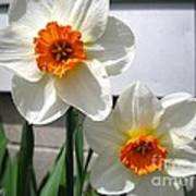 Small-cupped Daffodil Named Barrett Browning Art Print
