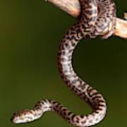 Spotted Python Antaresia Maculosa Art Print