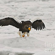 Stellers Sea Eagle Art Print