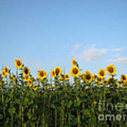 Sunflower Series Art Print