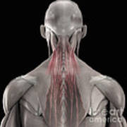 The Muscles Of The Back Art Print