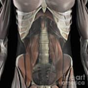 The Psoas Muscles Art Print