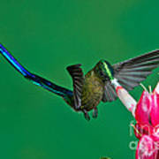 Violet-tailed Sylph Art Print