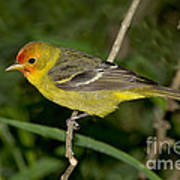 Western Tanager Art Print