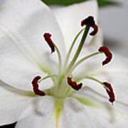 White Lily In Macro Art Print