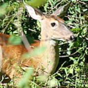 White Tailed Deer Portrait Art Print