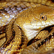 Yellow Rat Snake Art Print