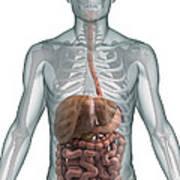 The Digestive System Art Print