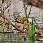 42- Florida Red-bellied Turtle Art Print