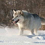 Wolf In Winter Art Print