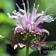 Bee Balm From The Panorama Mix Art Print