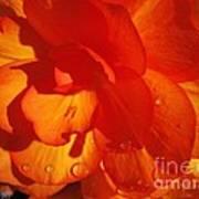 Begonia Named Nonstop Apricot Art Print