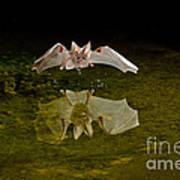 California Leaf-nosed Bat At Pond Art Print