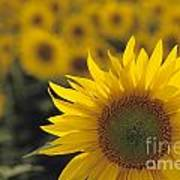 Close-up Of Sunflowers In A Field Art Print