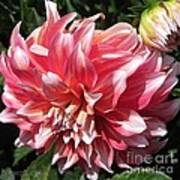 Dahlia Named Myrtle's Brandy Art Print