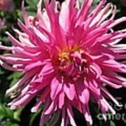 Dahlia Named Pretty In Pink Art Print