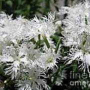 Dianthus Superbus - White Art Print
