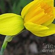Dwarf Cyclamineus Daffodil Named Jet Fire Art Print