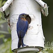 Eastern Bluebird Art Print by Linda Freshwaters Arndt