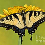 Eastern Tiger Swallowtail Butterfly Art Print