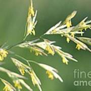 Flowering Brome Grass Art Print