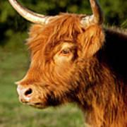 Highland Cow Art Print by Brian Jannsen