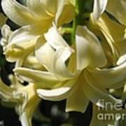 Hyacinth Named City Of Haarlem Art Print