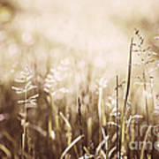 June Grass Flowering Art Print