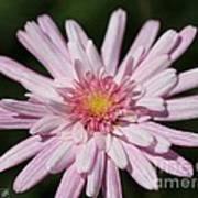 Marguerite Daisy Named Double Pink Art Print