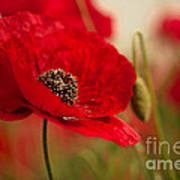 Poppy Dream Art Print