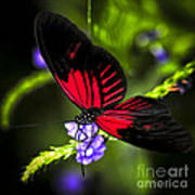 Red Heliconius Dora Butterfly Art Print