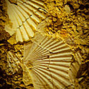 Seashell In Stone Art Print