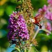 Snowberry Clearwing Hummingbird Moth Art Print