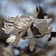 Spring April 2013 Magnolia Blossoms Art Print