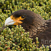 Striated Caracara Art Print