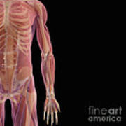 The Musculoskeletal System Art Print