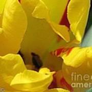Triumph Tulip Named Washington Art Print