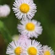 Wildflower Named Robin's Plantain Art Print