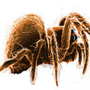 Wolf Spider Art Print